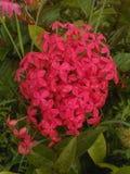 Flor indiana s Fotos de Stock