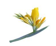 Flor Indica amarilla de Canna Imagen de archivo libre de regalías