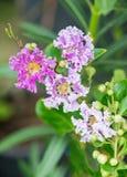 Flor indica del Lagerstroemia Fotografía de archivo