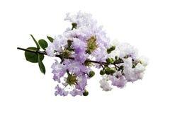 Flor indica del Lagerstroemia aislada Fotos de archivo