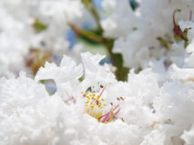 Flor indica del Lagerstroemia blanco Foto de archivo libre de regalías