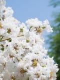 Flor indica del Lagerstroemia blanco Imágenes de archivo libres de regalías