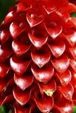 Flor indonesia del jengibre de la cera Fotos de archivo libres de regalías