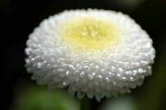 Flor inglesa de la margarita Imagen de archivo libre de regalías