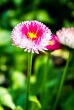 Flor inglesa de la margarita en el chiangmai Tailandia Fotos de archivo
