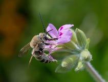 Flor inminente del geranio de la abeja de Anthophota Imagen de archivo