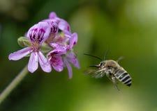 Flor inminente del geranio de la abeja de Anthophota Imágenes de archivo libres de regalías
