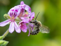 Flor inminente del geranio de la abeja de Anthophota Imagen de archivo libre de regalías