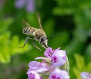 Flor inminente del geranio de la abeja de Anthophota Fotos de archivo