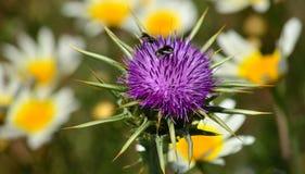 Flor, insetos e margaridas do cardo imagens de stock royalty free
