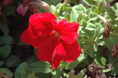 Flor inteiramente aberta do petúnia vermelho com os pingos de chuva da manhã na luz natural fotografia de stock