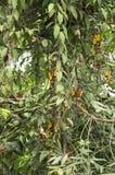 Flor interessante do mysorensis do Thunbergia na flor, branco e escuro - a suspensão vermelha floresce fotos de stock
