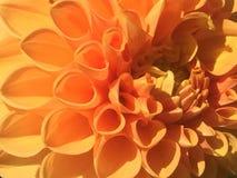 Flor Islandia de Haafell imagenes de archivo