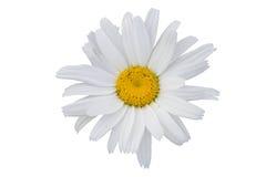 A flor isolada Foto de Stock