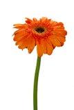 Flor isolada da margarida alaranjada Foto de Stock Royalty Free