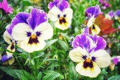 Flor isolada do amor perfeito imagem de stock royalty free