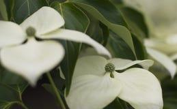 Flor isolada do corniso na flor Foto de Stock Royalty Free
