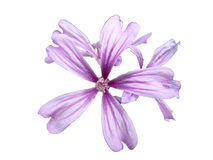 Flor isolada no fundo branco Imagem de Stock Royalty Free