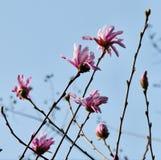 Flor japonés de la magnolia imágenes de archivo libres de regalías