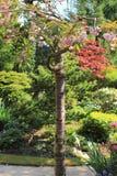 Flor japonés del cerezo en jardín hermoso de la primavera Fotos de archivo libres de regalías