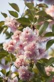Flor japonés en flor rosado de Sakura de la cereza Fotos de archivo