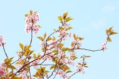 Flor japonés rosado del cerezo Foto de archivo libre de regalías
