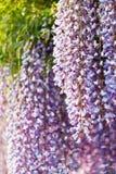 Flor japonesa da glicínia Foto de Stock Royalty Free