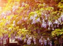 Flor japonesa da glicínia Fotografia de Stock