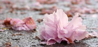 Flor japonesa de la cereza Fotos de archivo
