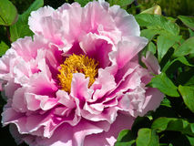 Flor japonesa del Peony Fotografía de archivo libre de regalías