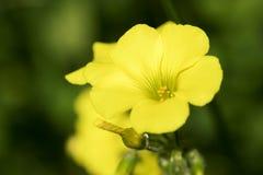 Flor joven de la semilla oleaginosa, flor de florecimiento de la rabina en el napus latino de la brassica fotografía de archivo libre de regalías