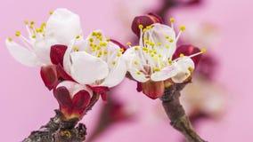 Flor 4K floreciente del albaricoque almacen de metraje de vídeo