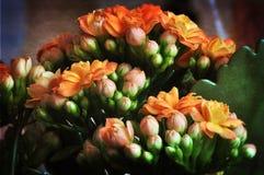 Flor Kalanchoe Imagem de Stock