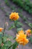 A flor Kermia chamou o zlotlin Imagem de Stock