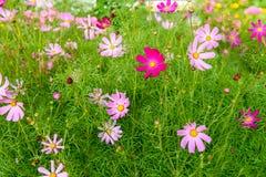 Flor Kosmeya Foto de archivo libre de regalías