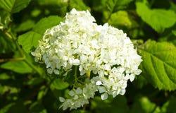 Flor a la hortensia blanca en jardín Foto de archivo libre de regalías