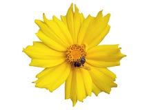 flor Lanza-con hojas del amarillo del coreopsis con la abeja aislada en blanco Foto de archivo libre de regalías