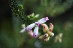 Flor larga blanca del tubo Fotos de archivo libres de regalías