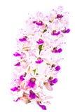 Flor larga da orquídea Fotografia de Stock