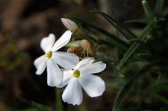 Flor larga del polemonio de la hoja Fotografía de archivo libre de regalías