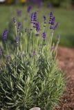 Flor - Lavendar - romance dulce foto de archivo libre de regalías