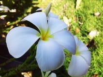 FLOR LEELAVADEE Fotografía de archivo libre de regalías