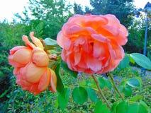 A flor levantou-se imagem de stock royalty free