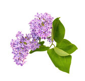 Flor lilás Fotografia de Stock Royalty Free