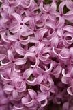 Flor lilás Foto de Stock Royalty Free