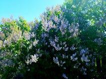 Flor lilás foto de stock