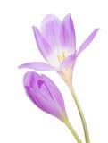 Flor lilás clara do açafrão dois isolada no branco Imagem de Stock