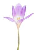 Flor lilás clara do açafrão isolada no branco Fotografia de Stock