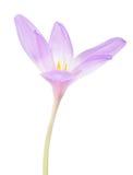 Flor lilás clara do açafrão no branco Imagens de Stock