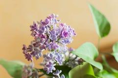 Flor lilás da flor Fotos de Stock Royalty Free